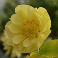 Helleborus orientalis 'Double Super Yellow'  (Ciemiernik wschodni) - h.orientalis_double__super_yellow_[1].jpg